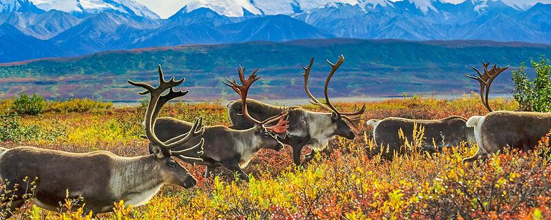 Bull caribou herd on tundra